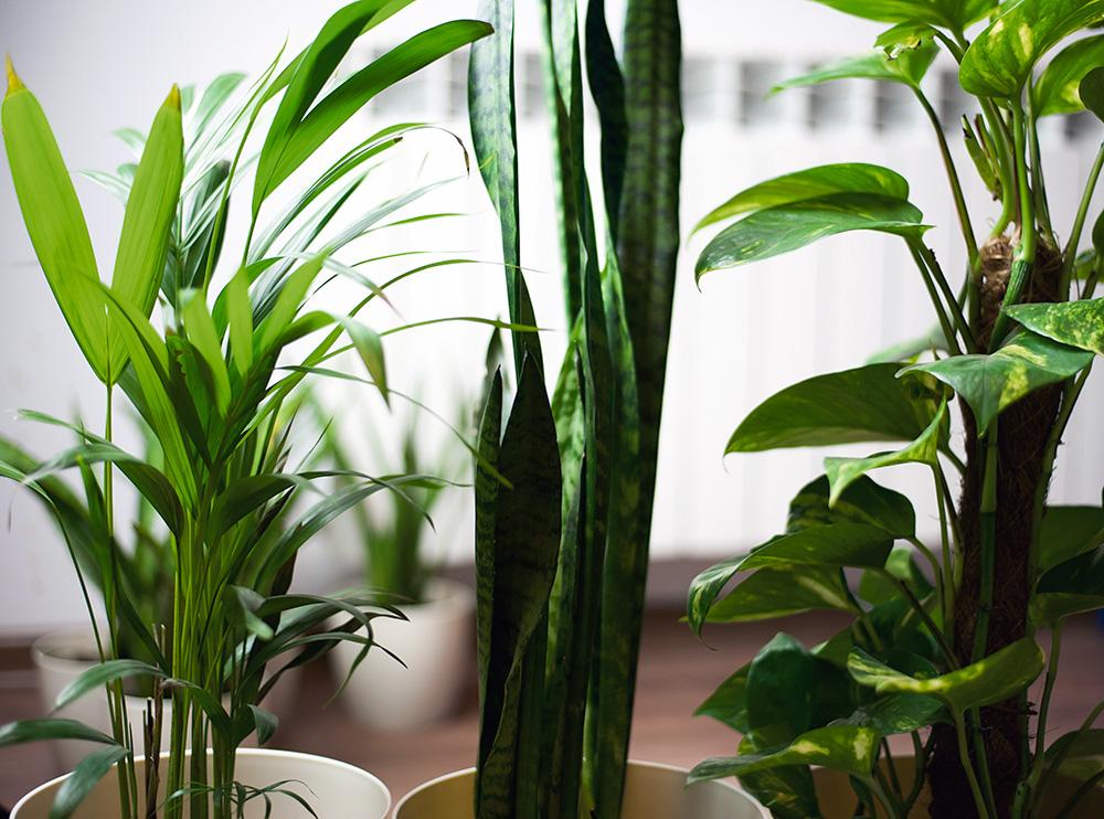 Smog to zmora dużych miast. Oczyść powietrze w domu roślinami!