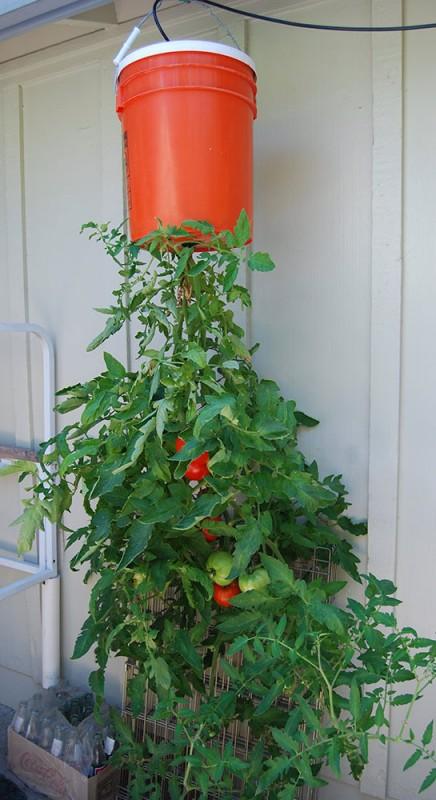 ogrodnictwo wertykalne - pomidory